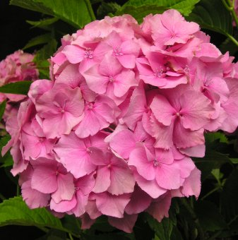 Хортензия / hydrangea macrophylla - розова...