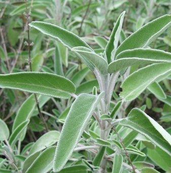 Снимка Градински чай Салвия / Salvia Officinalis...
