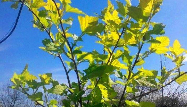 Снимка Physocarpus opulifolius aureus в 5 л. саксия