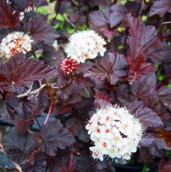 Физокарпус Червен Барон /Physocarpus opulifolius Red Baron/...