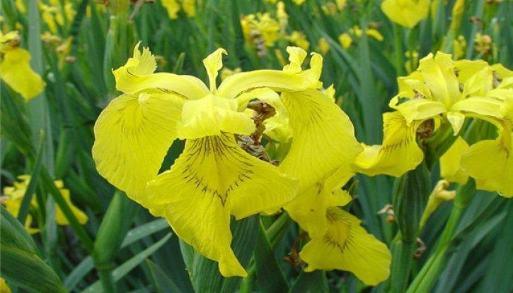 Снимка Ирис - мини / iris mini / жълт
