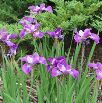 Мини Ирис -iris mini - лилав...