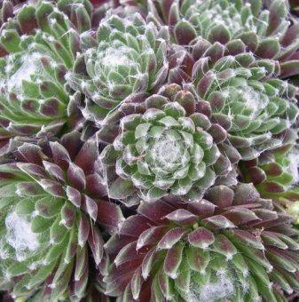 Семпервивум, Паяжинест дебелец / Sempervivum arachnoideum..