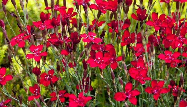 Снимка Карамфил - каскаден / Dianthus deltoides Leuchtfunk