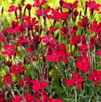 Снимка Карамфил - каскаден / Dianthus deltoides Leuchtfunk...
