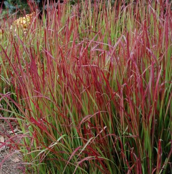 Императа / Imperata cylindrica - Red Baron /...