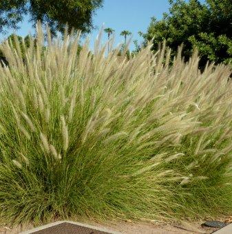 Пенисетум / Pennisetum - декоративна трева...