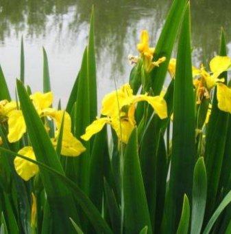 Блатен ирис / Iris pseudacorus /