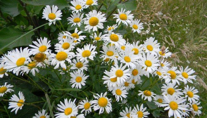 Снимка Маргарита бяла / Chrysanthemum leucanthemum