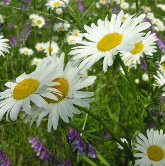 Снимка Маргарита бяла / Chrysanthemum leucanthemum...