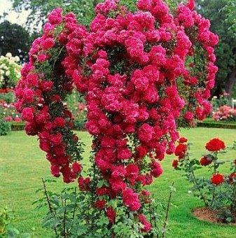 Плачеща роза - Дърво 130/140 см.