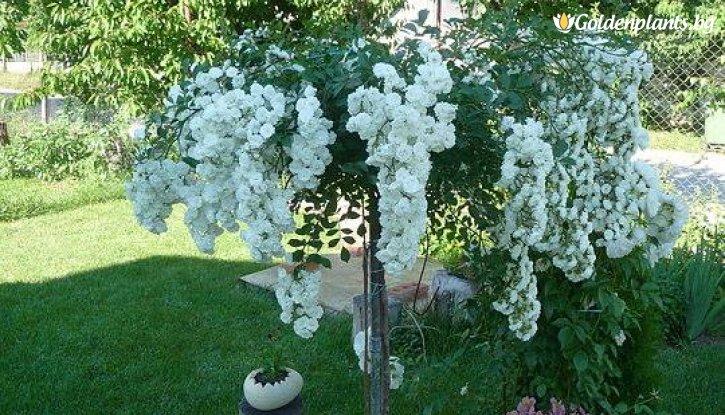 Снимка Бяла плачеща роза - Дърво 110 - 140 см.