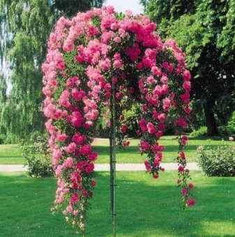 Розова плачеща роза - Дърво 110 - 140 см....