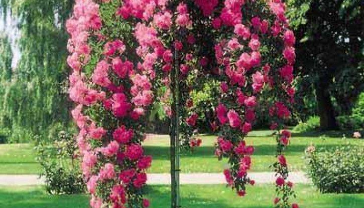 Снимка Розова плачеща роза - Дърво 110 - 140 см.