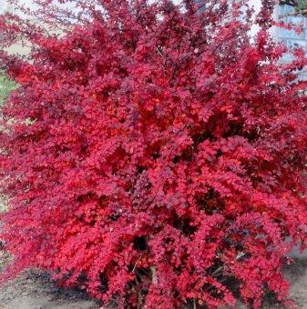 Червен Берберис /Berberis thunbergii atropurpurea sp./...