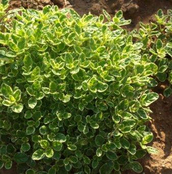 Лимонова Мащерка /Thymus citriodorus - Lemon Thyme/..