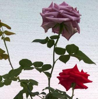 Снимка Червена  Лилава и Жълта щамбова роза - дърво...