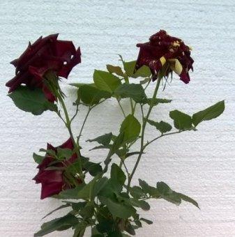 Бордо щамбова роза - дърво