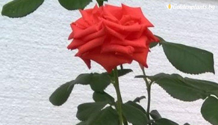 Снимка Оранжева и жълта щамбова роза - Дърво 110 - 140 см.