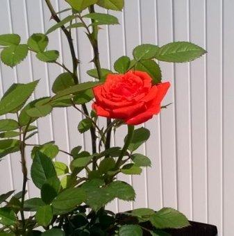 Оранжева мини роза