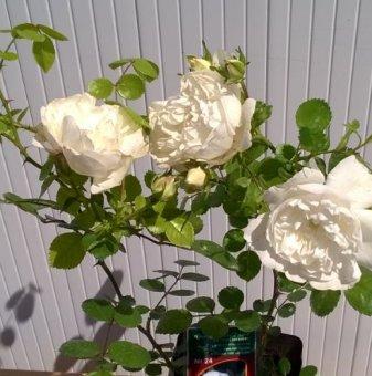 Бяла мини роза