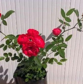 Розова мини роза...