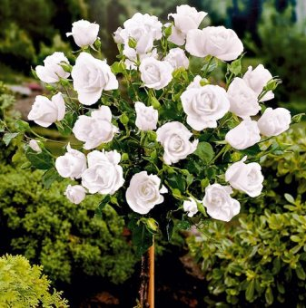 Бяла щамбова роза - дърво
