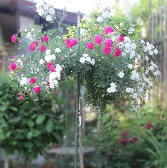 Цикламена и бяла щамбова роза - дърво