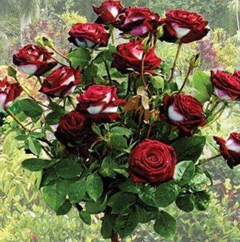 Червена с бяло щамбова роза - дърво