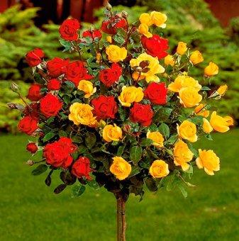 Оранжева и жълта щамбова роза - Дърво 110 - 140 см....