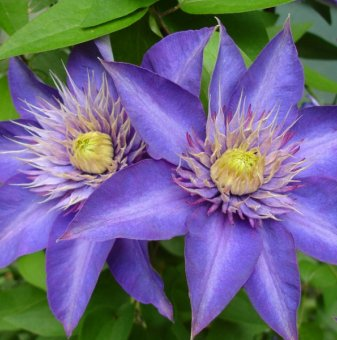 Клематис Multi blue /Clematis multi blue/