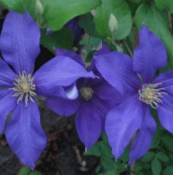 Клематис Ascotiensis /Clematis Ascotiensis/