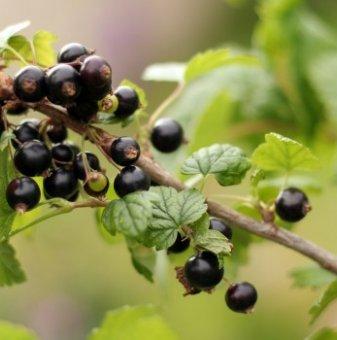 Касис /Ribes nigrum/