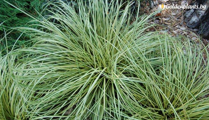 Снимка Карекс зелен /Carex Evergold/