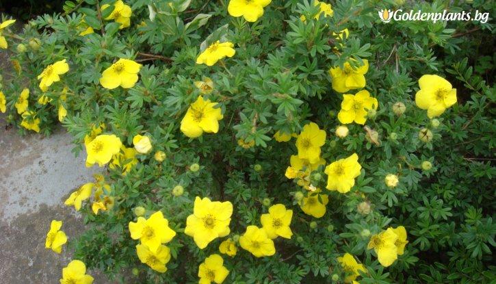 Снимка Потентила Жълта /Potentilla fruticosa/