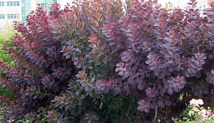 Снимка Червенолистна смрадлика /Cotinus royal purple/