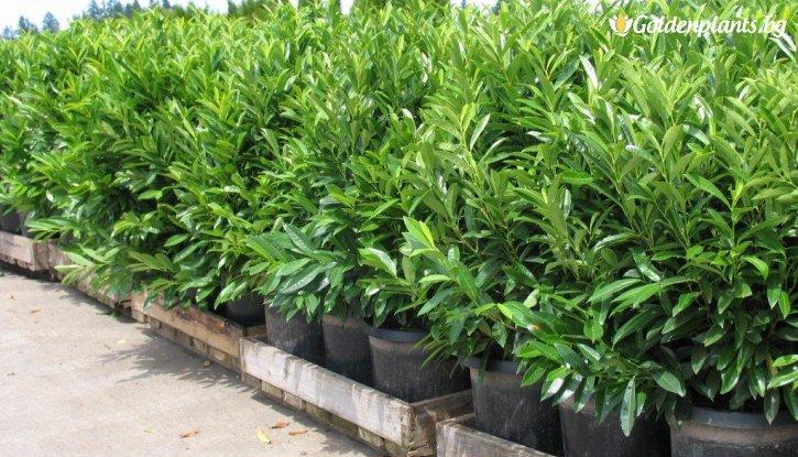 Снимка Лавровишна в саксия 3 литра /Prunus laurocerasus/