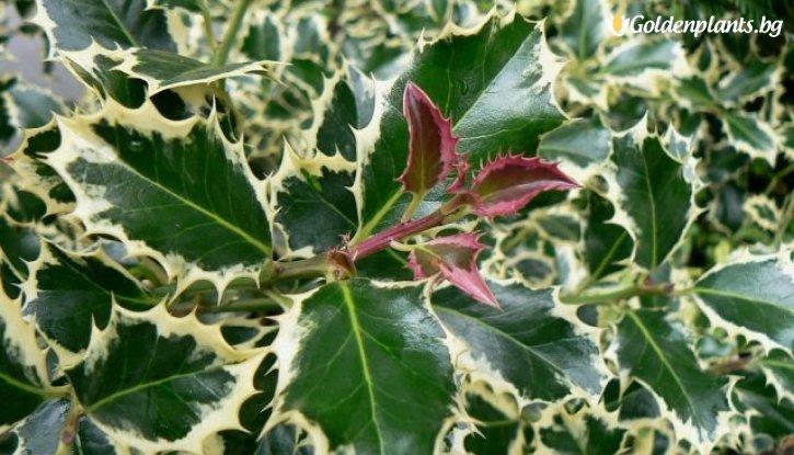 Снимка Джел / Илекс /ilex aquifolium/