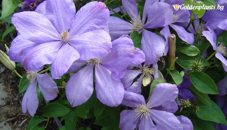 Снимка Клематис Мисис Чолмондели /Clematis Mrs Cholmondeley/