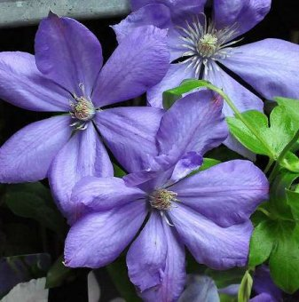 Клематис Мисис Чолмондели /Clematis Mrs Cholmondeley/..