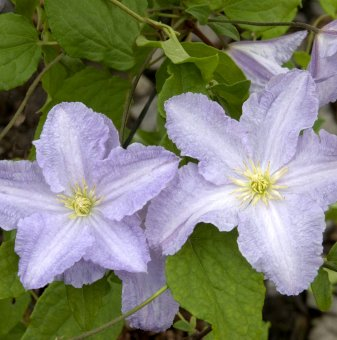 Снимка Клематис Blue Angel /Clematis Blue Angel/...