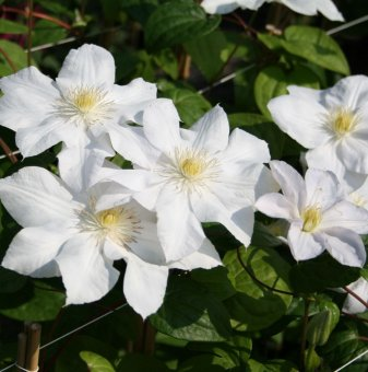 Кълбовидна Хризантема лилава / Chrysanthemum /