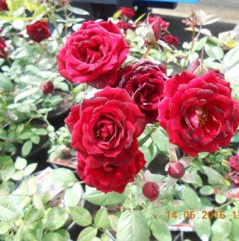 Чeрвена мини роза...