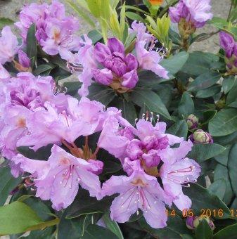 Рододендрон 20-25см /Rhododendron/