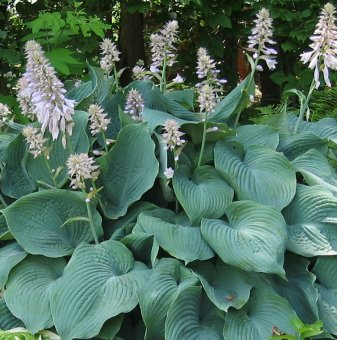Снимка Хоста Blue Cadet /Hosta Blue Cadet/...