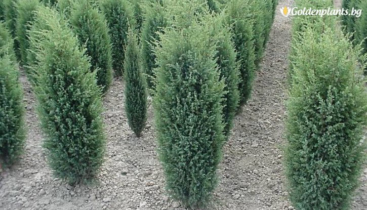 Снимка Юниперус Комунис - Синя Хвойна /Juniperus Communis/