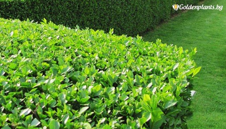 Снимка Лигуструм вечнозелен /Ligustrum Ovalifolium/