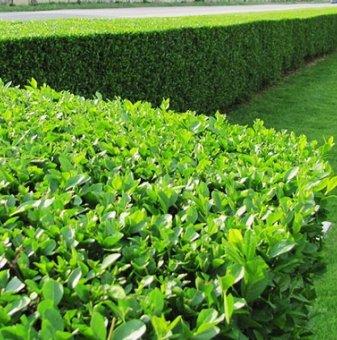 Снимка Лигуструм вечнозелен /Ligustrum Ovalifolium/...
