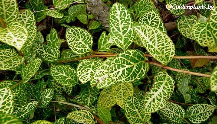 Снимка Лоницера Japonica Aureoreticulata /Lonicera Japonica Aureoreticulata/