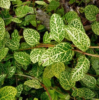 Лоницера Japonica Aureoreticulata /Lonicera Japonica Aureoreticulata/..